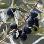 1 olives-357849_1920
